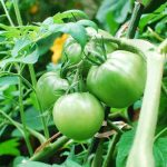 tomatoes 150x150 - Kongnamul Guk (Soybean Sprout Soup)